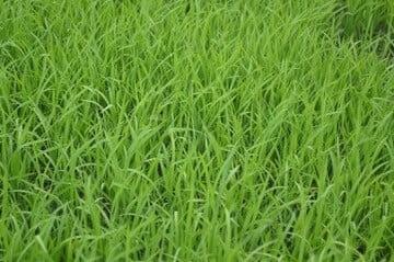 densité brin pelouse synthétique